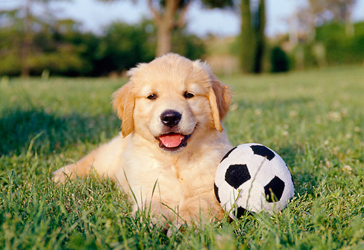 PUP 08 CB0015 01 © Kimball Stock Golden Retriever Puppy Laying On Grass With Stuffed Soccer Ball
