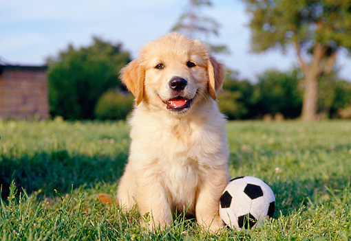 PUP 08 CB0016 01 © Kimball Stock Golden Retriever Puppy Sitting On Grass With Stuffed Soccer Ball