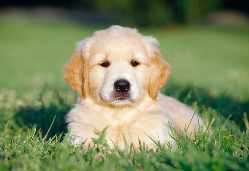 PUP 08 CB0017 01 © Kimball Stock Golden Retriever Puppy Laying On Lawn