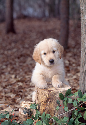 PUP 08 CE0045 01 © Kimball Stock Golden Retriever Puppy Leaning On Tree Stump In Forest