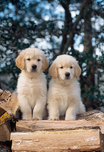 PUP 08 CE0050 01 © Kimball Stock Golden Retriever Puppies Sitting On Chopped Firewood Blocks