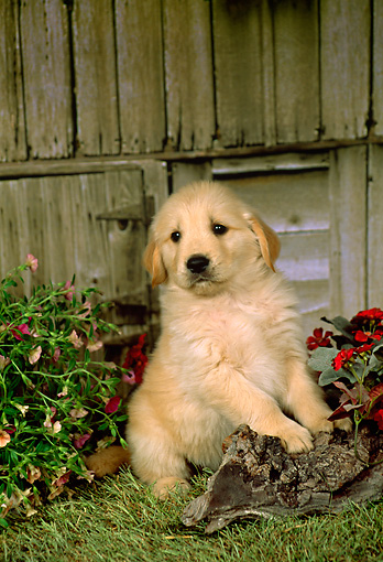 PUP 08 FA0013 01 © Kimball Stock Golden Retriever Puppy Sitting By Wooden Barn