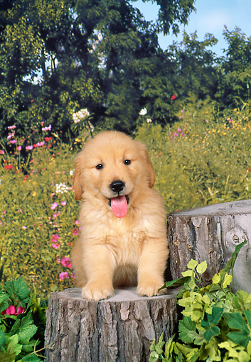 PUP 08 FA0023 01 © Kimball Stock Golden Retriever Puppy Sitting On Stump By Flowers