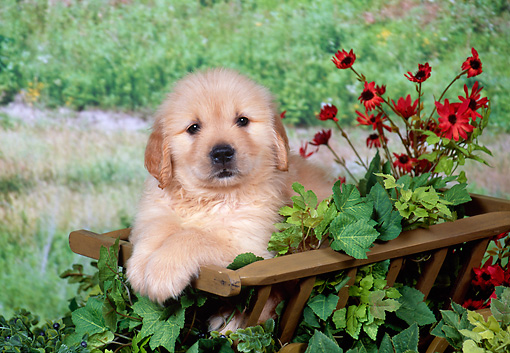 PUP 08 FA0024 01 © Kimball Stock Golden Retriever Puppy Sitting In Wooden Wagon.