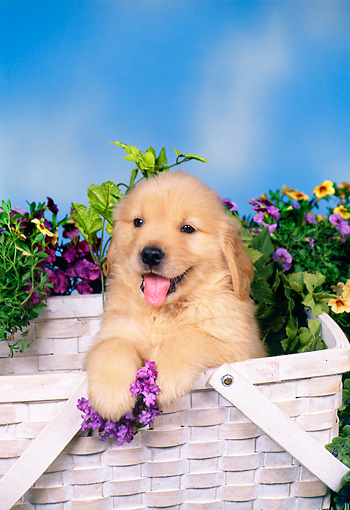 PUP 08 FA0026 01 © Kimball Stock Golden Retriever Puppy Sitting In Basket With Flowers.