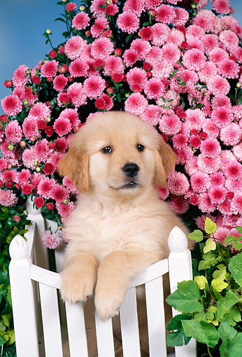 PUP 08 FA0029 01 © Kimball Stock Golden Retriever Puppy Leaning On White Fence By Pink Flowers