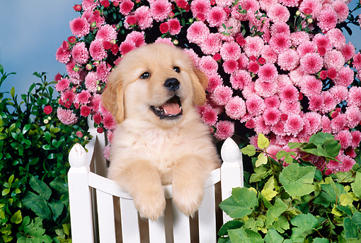 Golden Retriever Puppy Leaning On White Fence By Pink Flowers