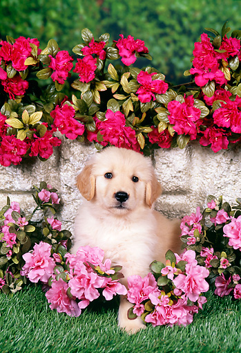 PUP 08 FA0032 01 © Kimball Stock Golden Retriever Puppy Sitting On Grass By Pink And Red Flowers