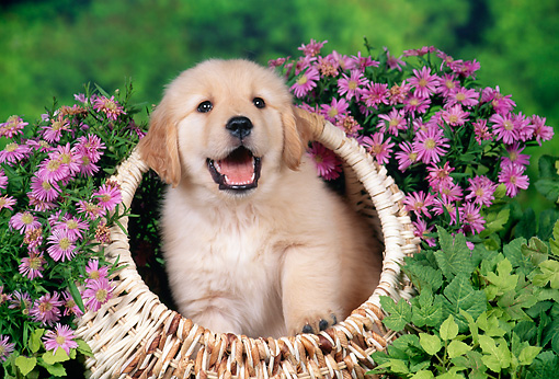 Golden Retriever Puppy Sitting In Basket By Pink Flowers Kimballstock