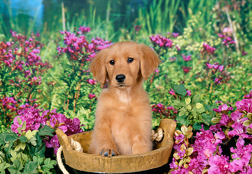 PUP 08 FA0034 01 © Kimball Stock Golden Retriever Puppy Sitting In Wooden Bucket By Pink Flowers