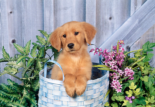 PUP 08 FA0035 01 © Kimball Stock Golden Retriever Puppy Sitting In Wicker Basket By Pink Flowers And Fence