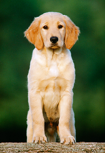 PUP 08 GR0024 02 © Kimball Stock Golden Retriever Puppy Leaning On Wooden Log