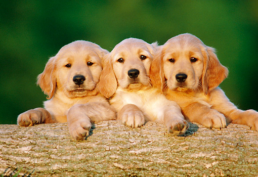 PUP 08 GR0077 01 © Kimball Stock Three Golden Retriever Puppies Leaning On Log