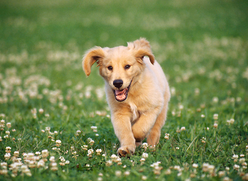 PUP 08 GR0091 01 © Kimball Stock Golden Retriever Puppy Running Through Lawn