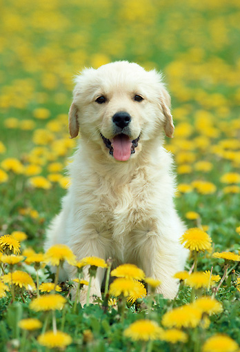 PUP 08 GR0094 01 © Kimball Stock Golden Retriever Puppy Sitting In Dandelions