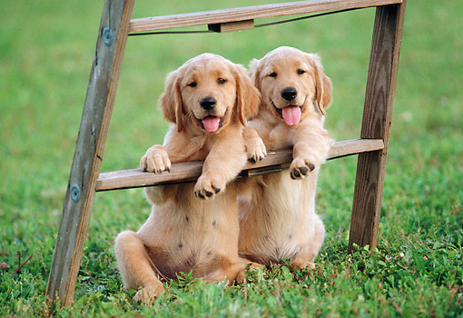 PUP 08 GR0099 01 © Kimball Stock Two Golden Retriever Puppies Leaning On Stepladder