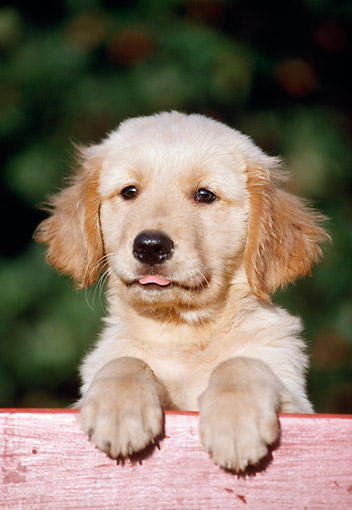 PUP 08 GR0100 01 © Kimball Stock Golden Retriever Puppy Leaning On Fence