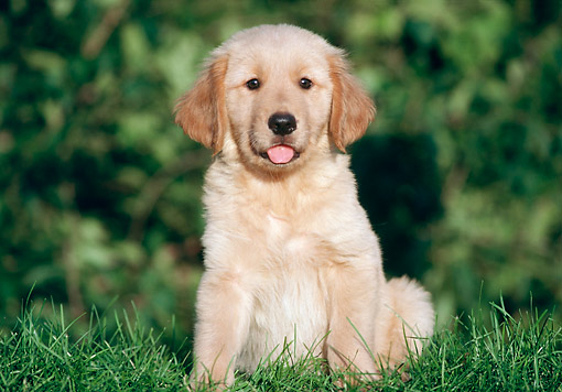 PUP 08 GR0101 01 © Kimball Stock Golden Retriever Sitting In Grass