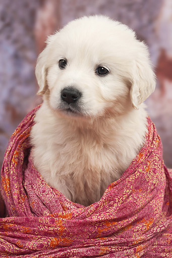 PUP 08 JE0002 01 © Kimball Stock Golden Retriever Puppy Wrapped Up In Red Blanket In Studio