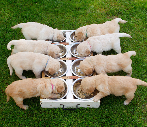 PUP 08 JE0004 01 © Kimball Stock Eight Puppies Munching Puppy Chow In Grass