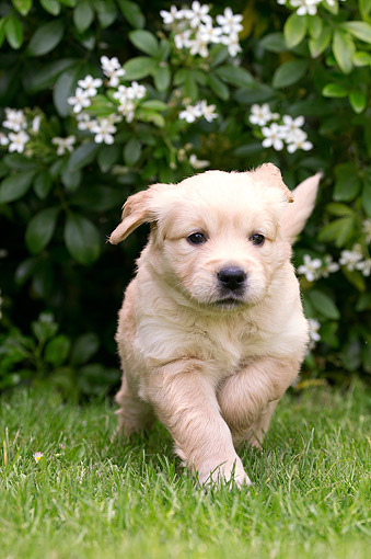 PUP 08 JE0005 01 © Kimball Stock Golden Retriever Puppy Romping Through Grass
