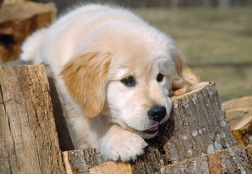 PUP 08 JN0001 01 © Kimball Stock Close-Up Of Golden Retriever Puppy Laying On Woodpile