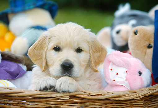 PUP 08 JS0002 01 © Kimball Stock Golden Retriever Puppy Sitting In Basket Of Stuffed Animals