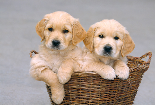 PUP 08 JS0003 01 © Kimball Stock Two Golden Retriever Puppies Sitting In Wicker Basket