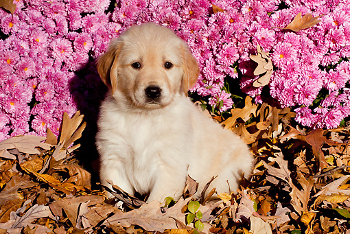 PUP 08 LS0019 01 © Kimball Stock Golden Retriever Puppy Sitting In Autumn Leaves By Pink Flowers