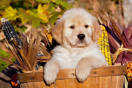 PUP 08 LS0021 01 © Kimball Stock Golden Retriever Puppy Sitting In Basket With Ears Of Corn