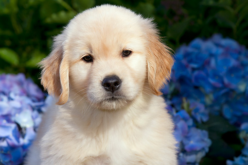 PUP 08 LS0023 01 © Kimball Stock Close-Up Of Golden Retriever Puppy Sitting By Blue Hydrangeas