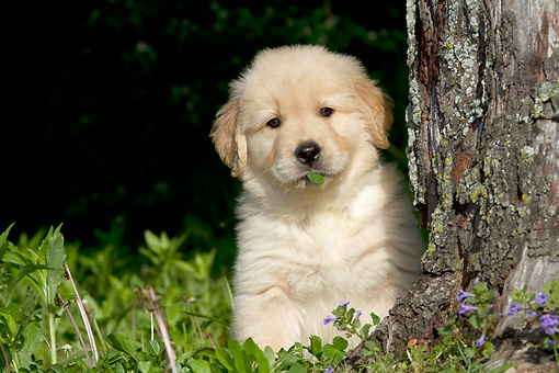 PUP 08 LS0025 01 © Kimball Stock Golden Retriever Puppy Sitting By Tree And Hydrangeas