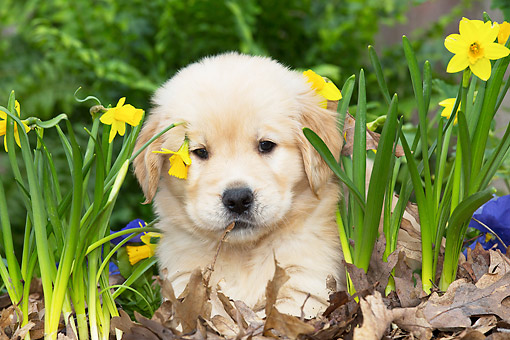 PUP 08 LS0026 01 © Kimball Stock Golden Retriever Puppy Laying In Garden In Kingston, Illinois
