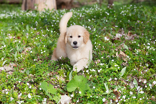 PUP 08 LS0028 01 © Kimball Stock Golden Retriever Puppy Walking Through Spring Wildflowers In Elburn, Illinois