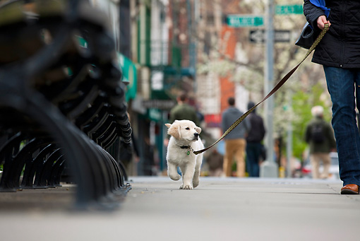 PUP 08 MQ0001 01 © Kimball Stock Golden Retriever Puppy Walking In City On Leash
