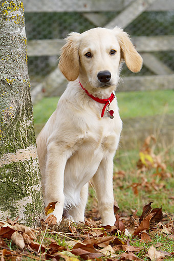 PUP 08 NR0001 01 © Kimball Stock Golden Retriever Puppy Standing By Tree