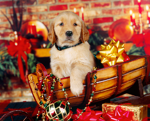 PUP 08 RK0222 08 © Kimball Stock Golden Retriever Puppy With Collar Sitting In Sled Christmas Decorations