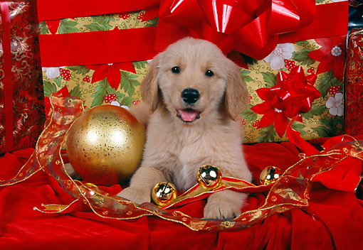 PUP 08 RK0300 03 © Kimball Stock Golden Retriever Puppy Laying By Christmas Decorations