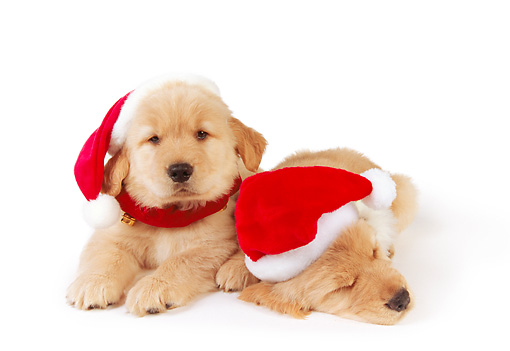 PUP 08 RK0333 02 © Kimball Stock Two Golden Retriever Puppies Wearing Santa Hats On White Seamless