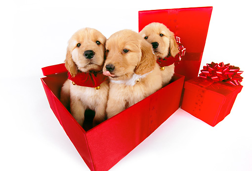 PUP 08 RK0339 01 © Kimball Stock Three Golden Retriever Puppies Sitting In Red Gift Box On White Seamless