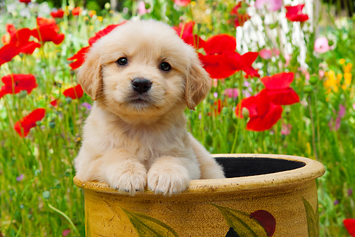 PUP 08 RK0369 01 © Kimball Stock Golden Retriever Puppy Sitting In Flower Pot In Garden