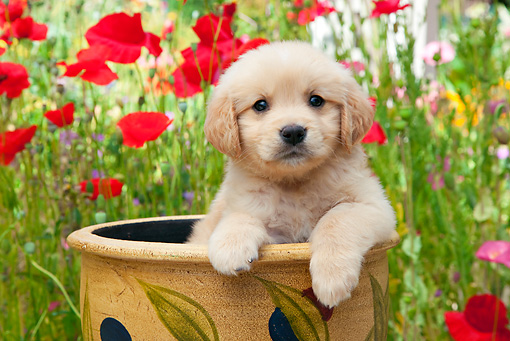 PUP 08 RK0370 01 © Kimball Stock Golden Retriever Puppy Sitting In Flower Pot In Garden