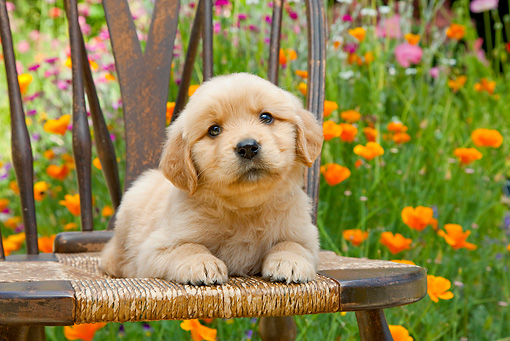 PUP 08 RK0371 01 © Kimball Stock Golden Retriever Puppy Laying On Chair In Garden
