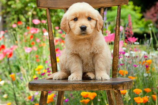 PUP 08 RK0372 01 © Kimball Stock Golden Retriever Puppy Sitting On Chair In Garden