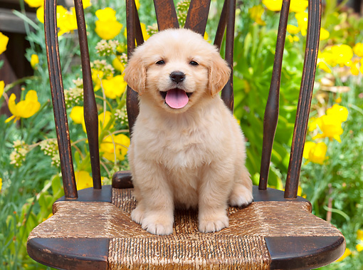 PUP 08 RK0373 01 © Kimball Stock Golden Retriever Puppy Sitting On Chair In Garden