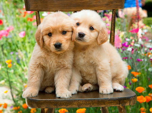 PUP 08 RK0374 01 © Kimball Stock Golden Retriever Puppies Sitting On Chair In Garden