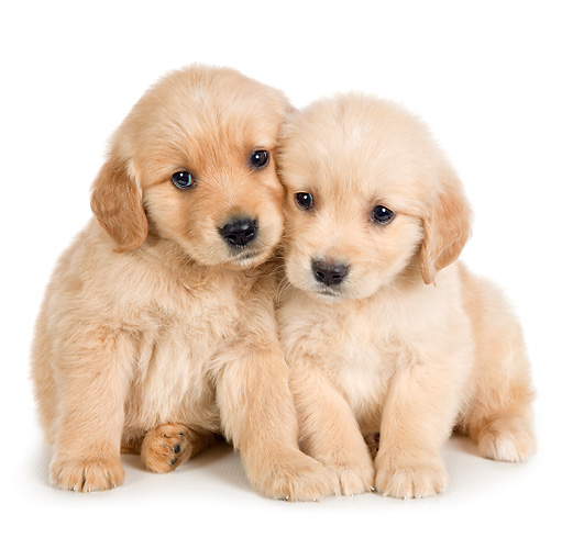 PUP 08 RK0383 01 © Kimball Stock Golden Retriever Puppies Sitting On White Seamless