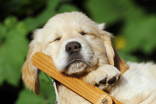 PUP 08 SS0009 01 © Kimball Stock Close-Up Of Golden Retriever Puppy Sleeping On Deck Chair