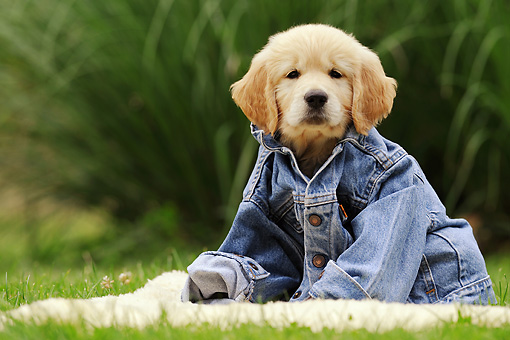 PUP 08 SS0011 01 © Kimball Stock Golden Retriever Puppy Wearing Denim Jacket On Grass