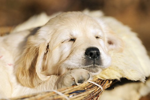 PUP 08 SS0013 01 © Kimball Stock Close-Up Of Golden Retriever Puppy Sleeping In Dog Bed